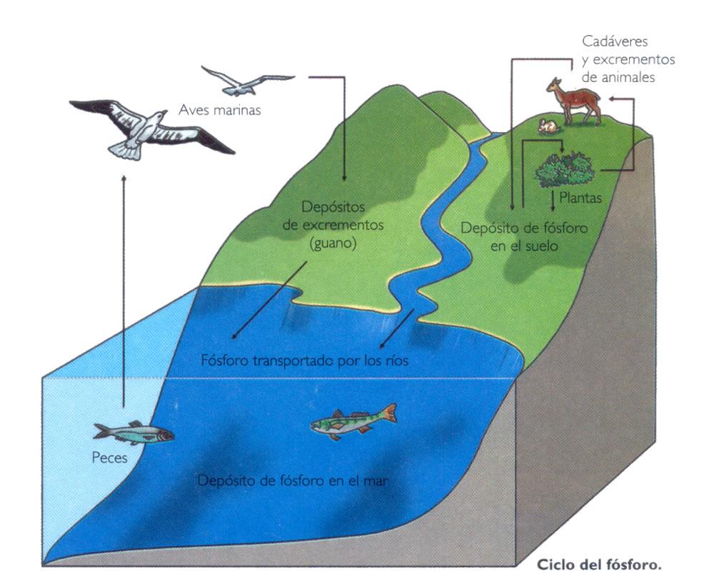 Ecología Dinámica De Los Ecosistemas Ciclo Del Fósforo